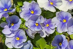 Blue pansies (viola) Royalty Free Stock Photos