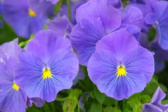 Blue pansies (viola) Royalty Free Stock Images