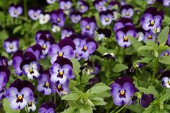 Blue pansy. Flower bed of blue pansies Stock Image