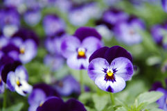 Blue pansy. Close up of blue pansies Royalty Free Stock Photography
