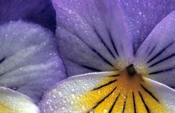 Blue Pansy. Pansy from the garden Royalty Free Stock Photography