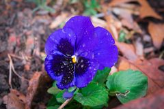 Blue Pansy with Morning Dew stock image
