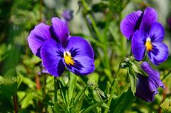 blue pansy Stock Photos