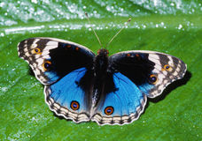 Free Blue Pansy Butterfly Royalty Free Stock Photography - 14845937