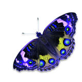 Blue pansy butterfly Stock Image