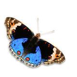 Blue pansy butterfly Royalty Free Stock Photos