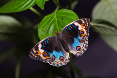 Blue pansy butterfly Royalty Free Stock Image