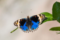 Blue pansy butterfly Stock Images