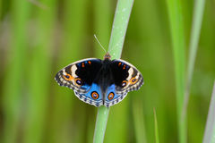Blue Pansy butterfly (Junonia orithya) Stock Photo