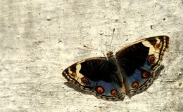 Blue Pansy Butterfly Royalty Free Stock Photo