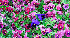 Blue pansy in  clearing between purple. Stock Images