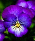 Blue pansy Stock Photography