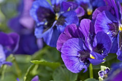 Blue pansy Royalty Free Stock Images