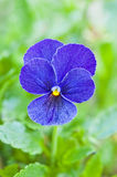 Blue pansy flower bloom Stock Photography