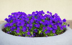 Blue pansy   flower Royalty Free Stock Image