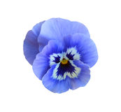 Blue pansy flower Stock Photography