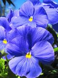 Blue pansy flowers Royalty Free Stock Image