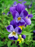 Blue pansy flowers close up Royalty Free Stock Photo