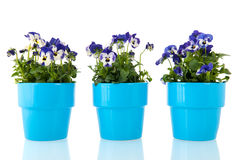 Blue pansy flowers Stock Photos