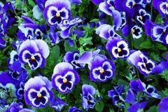 Free Blue Pansy Flowers. Viola X Wittrockiana. Stock Photo - 163413290