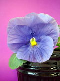 Blue pansy stock images