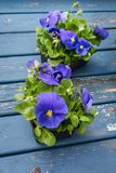 Blue Pansies fresh from the nursery. Blue pansy seedlings ready to transplant into the garden Stock Image