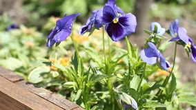Blue Pansy stock video