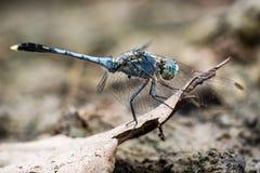 Blue pantala flavescens dragonfly. Blue Pantala flavescens dragonfly peerching on dry leaf, selective focus Stock Images
