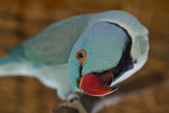 Blue parakeet. Blue Indian ring-necked parakeet staring Royalty Free Stock Images