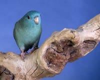 Blue parakeet Stock Image