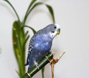 Blue parakeet Stock Photography
