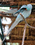 Blue parakeet cleaning. Blue Indian ring-necked parakeet is cleaning its feathers Royalty Free Stock Image