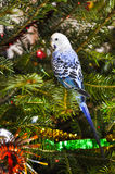 Blue parakeets Stock Image