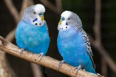 Blue Parakeets. Two blue parakeets perched on a branch Royalty Free Stock Photo