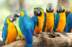 Blue parrets. Blue color parrots of beautiful six birds on the dry branch of tree in Forrest Royalty Free Stock Photo