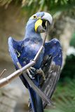 Blue Parrot. Grabbing a branch with its large beak stock image