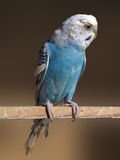 Blue parrot. Over brown background Royalty Free Stock Images