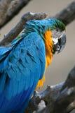 Blue parrot Stock Photo