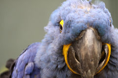Blue Parrot Royalty Free Stock Images