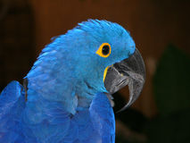 Blue parrot. In Florida stock photos