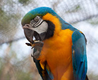 Blue Parrot Royalty Free Stock Photography