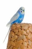 Blue parrot Stock Images
