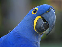 Blue Parrot. Blue bird with bright yellow accents and black beak Stock Photography