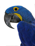 Blue parrot Stock Photo