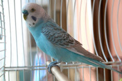 Blue parrot. This is a blue parrot with grey design on the wings Stock Images