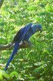 Blue parrot (on a branch). Ara hyacinte Stock Photography