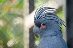 Blue parrot. Is in the cage and not happy Stock Image