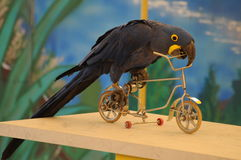 Blue Parrot Driving A Bicycle Stock Photos