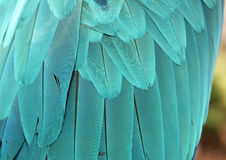 Blue Parrot Feathers. For Background Royalty Free Stock Photos