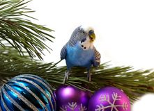 The Blue parrot on fir tree, Christmas. royalty free stock photo